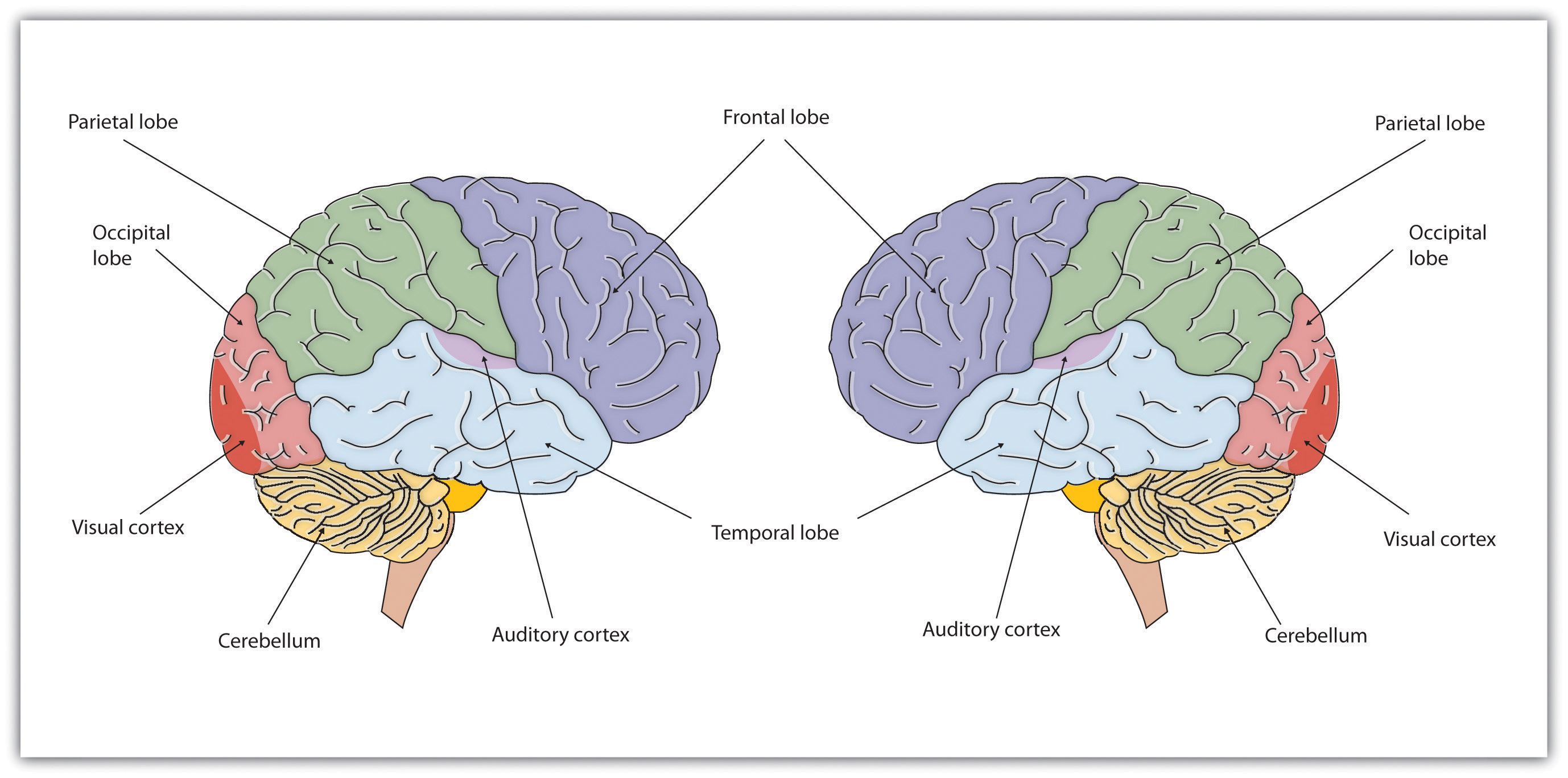 Chapter 3 - Neuron and the Brain - Psychology