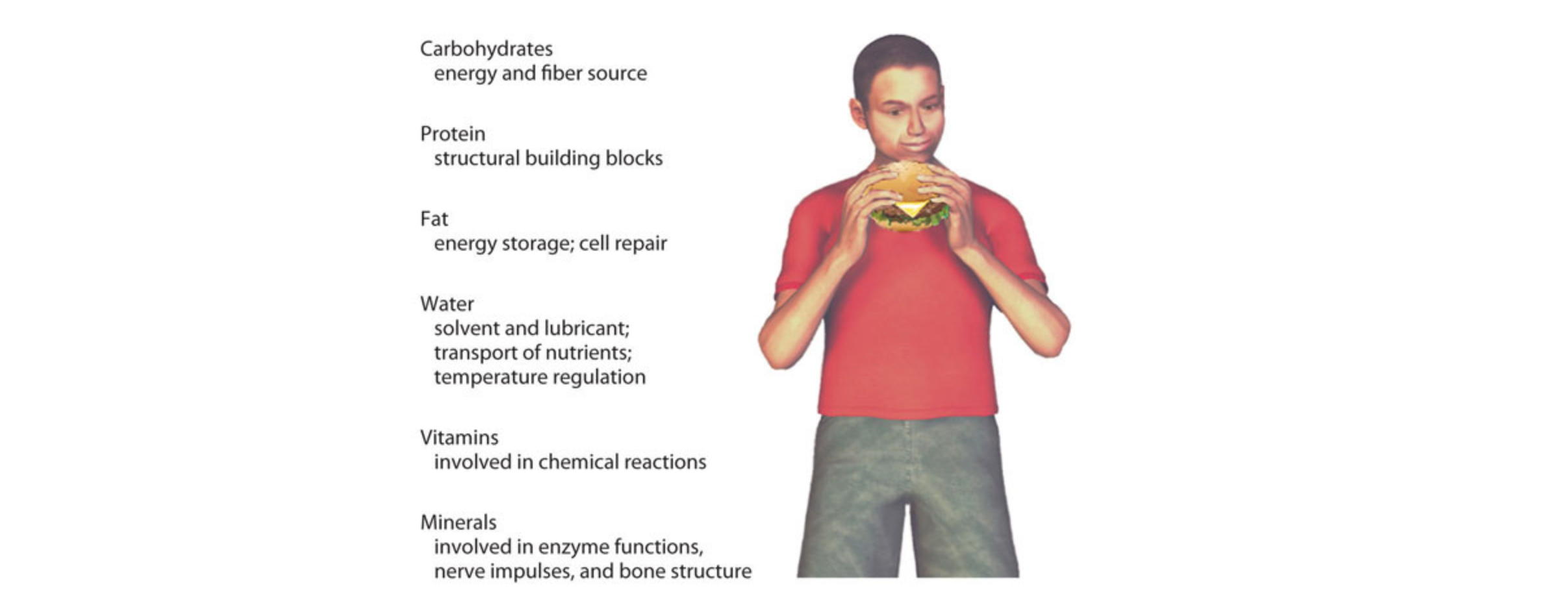 an Image listing the six classes of nutrients with a boy holding a hamburger to the right of the list. the six nutrient classes shown are: Carbohydrates(energy and fiber source), Protein(structural building blocks), Fat(energy storage; cell repair), Water(solvent and lubricant;transport of nutrients;temperature regulation), Vitamins(involved in chemical reactions),Minerals(involved in enzyme functions, nerve impulses, and bone structure)