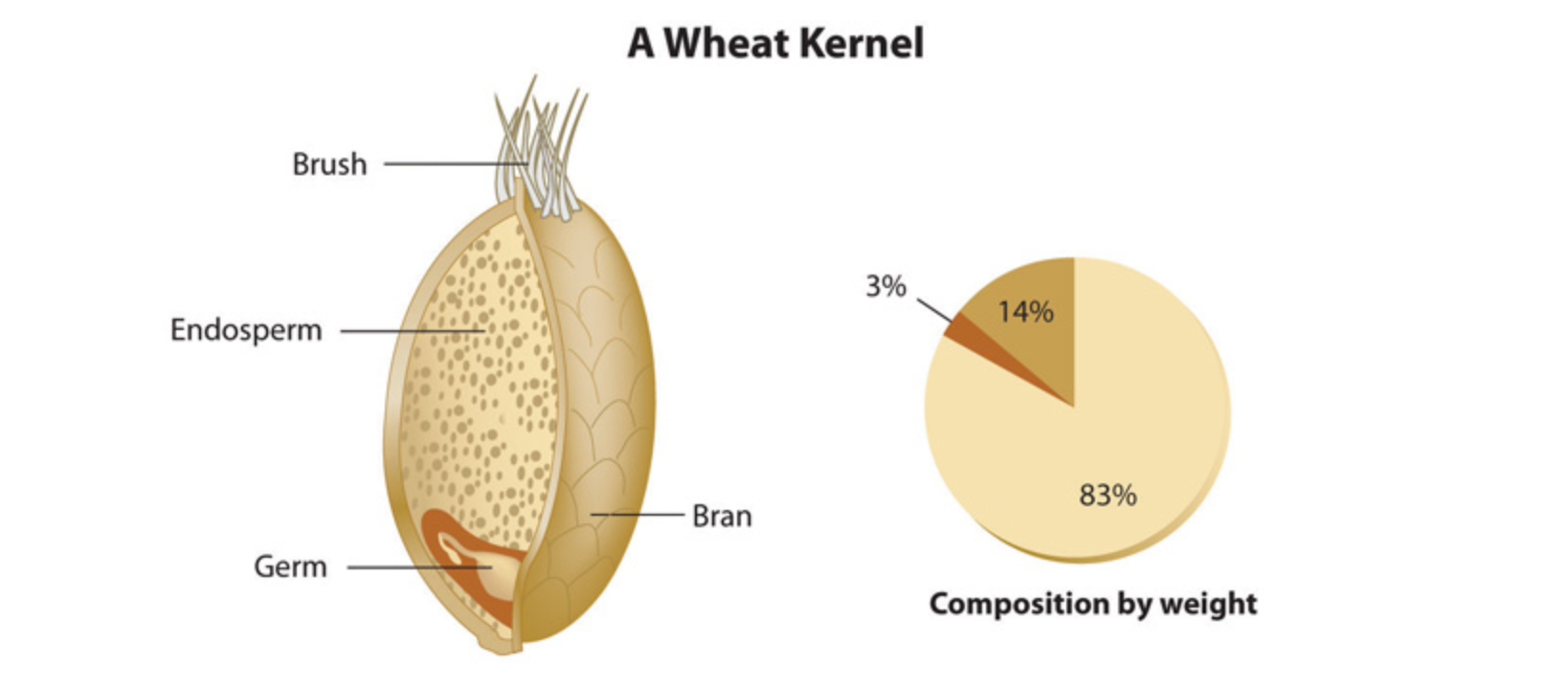 An image of the inside of a wheat kernel, and an accompanying graph that displays composition by weight.