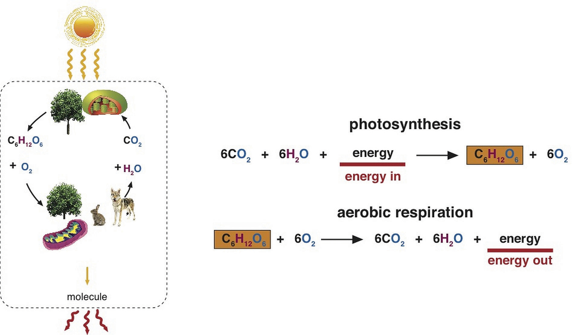 an image illustrating the process of photosynthesis and aerobic respiration.