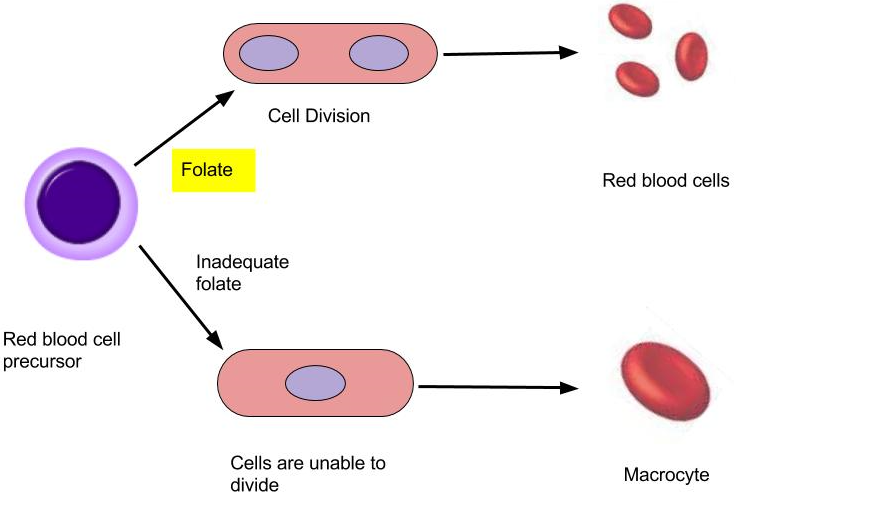 two outcomes of folate, amino acid synthesis. with adequate folate cells divide properly into red blood cells. If inadequate amount of folate is provided, the cells will not be able to divide, and produce macrocytes.