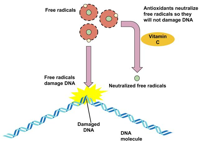 Antioxidants neutralize free radicals so they will not damage DNA