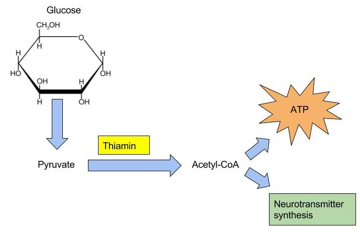A flowchart that illustrates a transition from glucose to pyruvate, then synthesizes with thiamin to output Acetyl-CoA. That is then transformed into ATP or a neurotransmitter synthesis