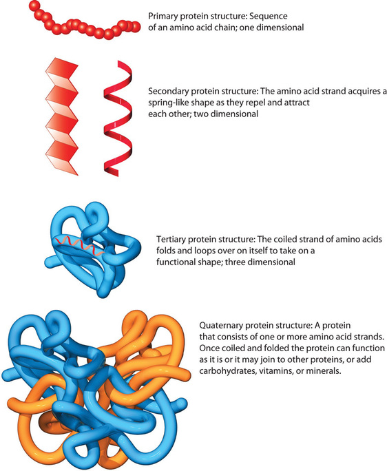 4 structural levels of a protein