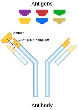 Antigen shapes match the shape of the antigen-binding site receptor.