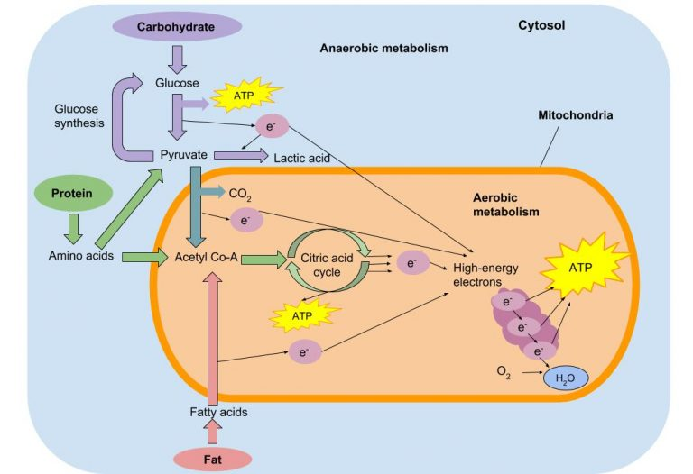 Complex illustration shows how carbohydrates, protein and fat react in muscle cells.