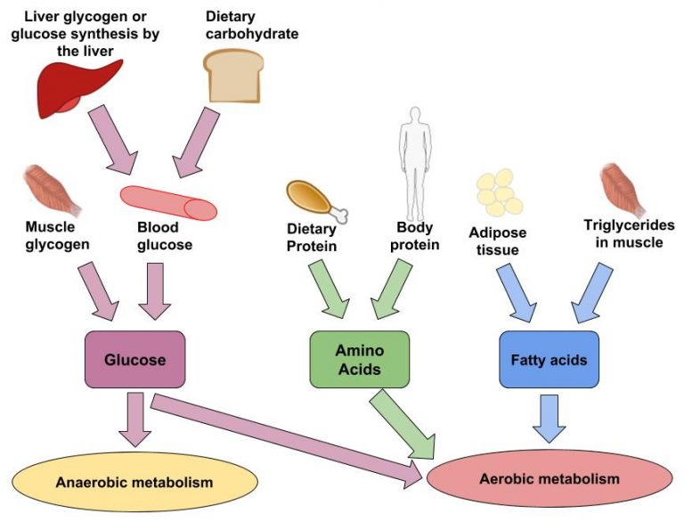 Illustrated flow chart of food sources becoming glucose, amino acids or fatty acids and then anaerobic or aerobic metabolism