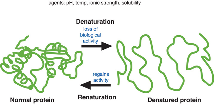 Normal protein is tangled. Denatured protein becomes less tangled from loss of biological activity.