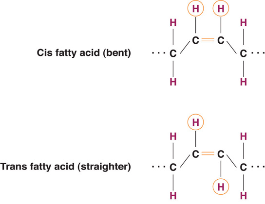 Chemical structure of a bent cis fatty acid and a straighter trans fatty acid