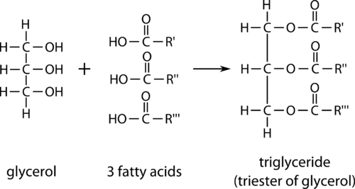 Chemical structure of glycerol, 3 fatty acids and triglyceride (triester of glycerol)