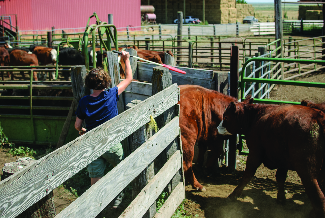 A photo is shown of cattle passing through a narrow chute into a holding pen. A person directs them through the gate with a long white and red pole.