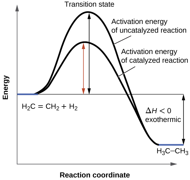 """A graph is shown with the label, """"Reaction coordinate,"""" on the x-axis and the label,""""Energy,"""" on the y-axis. Approximately half-way up the y-axis, a short portion of a black concave down curve which has a horizontal line extended from it across the graph. The left end of this line is labeled """"H subscript 2 C equals C H subscript 2 plus H subscript 2."""" The black concave down curve extends upward to reach a maximum near the height of the y-axis. The peak of this curve is labeled, """"Transition state."""" A double sided arrow extends from the horizontal line to the peak of the curve. This arrow is labeled, """"Activation energy of Uncatalyzed reation."""" From the peak, the curve continues downward to a second horizontally flattened region well below the origin of the curve near the x-axis. This flattened region is shaded in blue and is labeled """"H subscript 3 C dash C H subscript 3."""" A double sided arrow is drawn from the lowers part of this curve at the far right of the graph to the line extending across the graph above it. This arrow is labeled, """"capital delta H less than 0 : exothermic."""" A second curve is drawn with the same flattened regions at the start and end of the curve. The height of this curve is about two-thirds the height of the first curve. A double sided arrow is drawn from the horizontal line that originates at the left side of the graph to the peak of this second curve. This arrow is labeled, """"Activation energy of catalyzed reaction."""""""