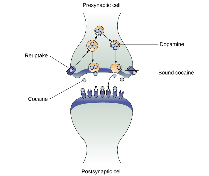 An illustration of a presynaptic cell and a postsynaptic cell shows these cells' interactions with cocaine and dopamine molecules.