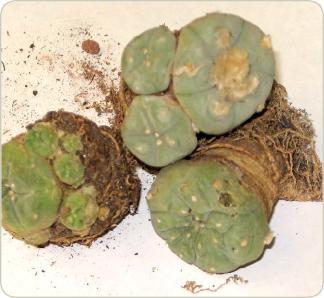 Peyote Cactus