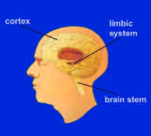 A diagram showing where the cortex, limbic system, and brain stem are in the brain.