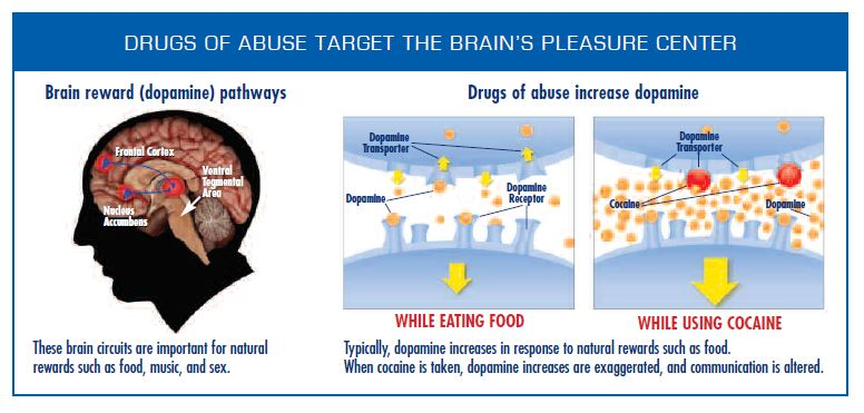Figure depicting the brain reward dopamine pathways and a side by side comparison of the amount of dopamine produced by eating versus cocaine use.