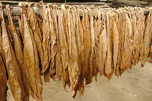 Tobacco Leaves Drying in the Sun
